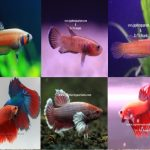 Betta/fighting fish